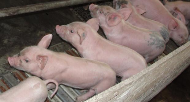 Как трябва да се осветява свинефермата