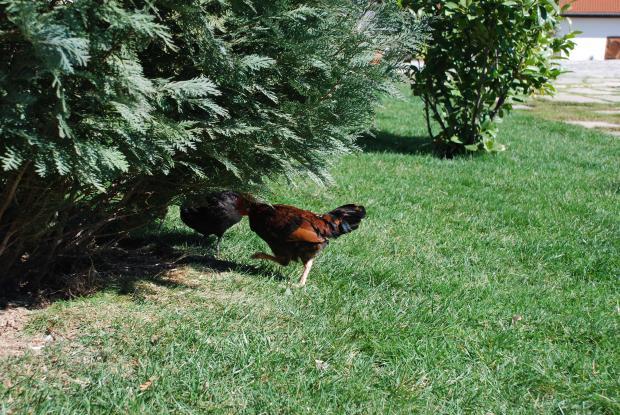 Птицевъдният сегмент е с най-силен ръст в британското селско стопанство