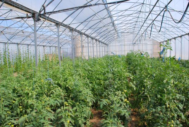 В холандска оранжения откриха новия за страната вирус на хлороза по доматите