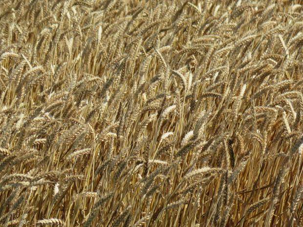 Фото семена пшеница