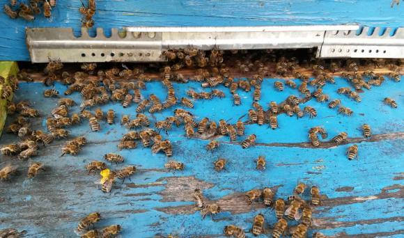 Отчетоха 70 % усвояемост  Националната програма по пчеларство за 2017 година