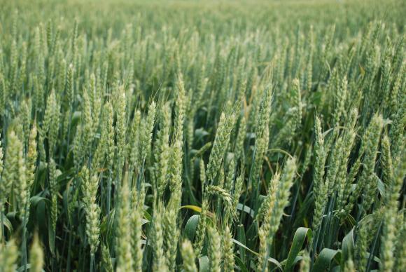 Липсата на купувачи на зърно на борсата натисна цените