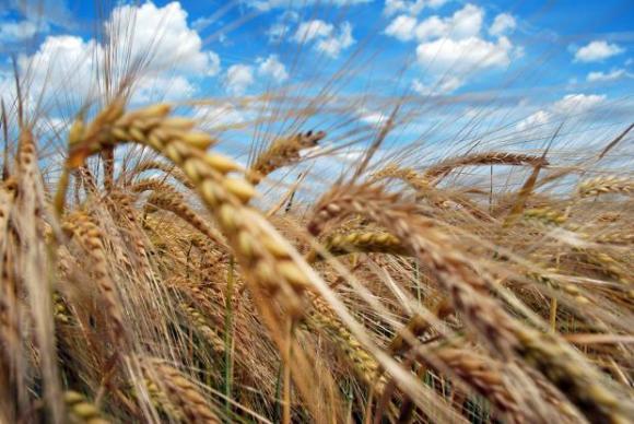 Силната конкуренция на международните пазари свива износа на пшеница от Румъния