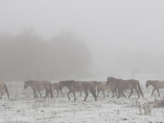 Холандци предлагат древни коне в Родопите да получат статут на диви животни