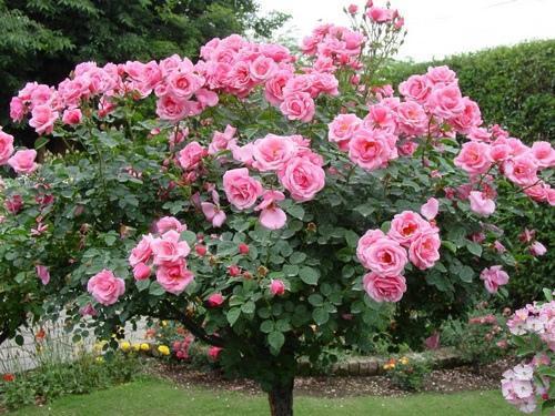 Засаждаме розите както си трябва