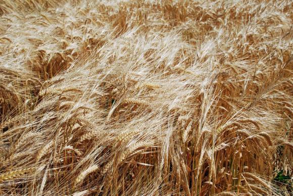 Черноморска пшеница - прекъсване на стремителното ценово рали