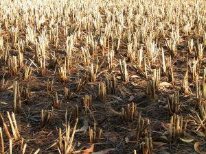 Състоянието на посевите с пшеница в щата Канзас продължава да се влошава
