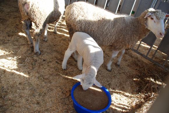 CAPA: Цените на агнешкото месо този Великден ще се покачат и средните ще достигнат 13,50 лв. за килограм