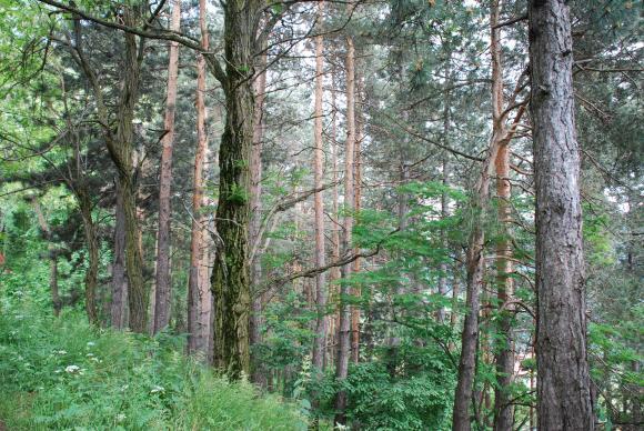 Близо един милион декара с гори са поразени от болести и корояди