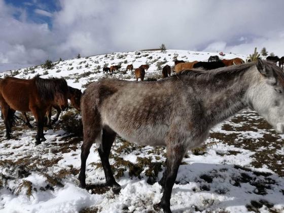 Ветеринари проверяват ситуацията с бедстващите коне в Осоговската планина