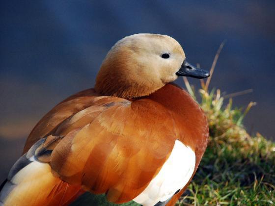 Констатирано е ново огнище на птичи грип във ферма за патици в с Ямболско