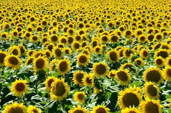Милион и половина тона слънчоглед от последната реколта в Русия са си останали на полето