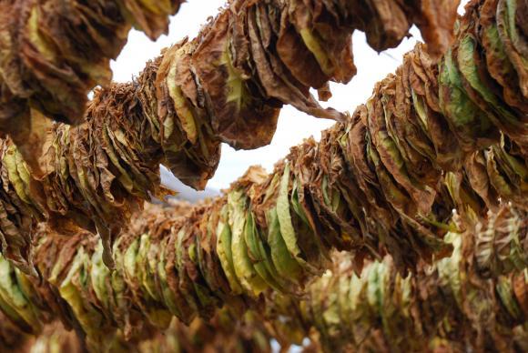 До 24 април превеждат 85 млн. лв. преходна помощ на тютюнопроизводителите