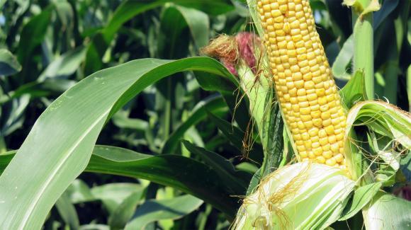 Износът на царевица от Румъния нарасна с 36 на сто