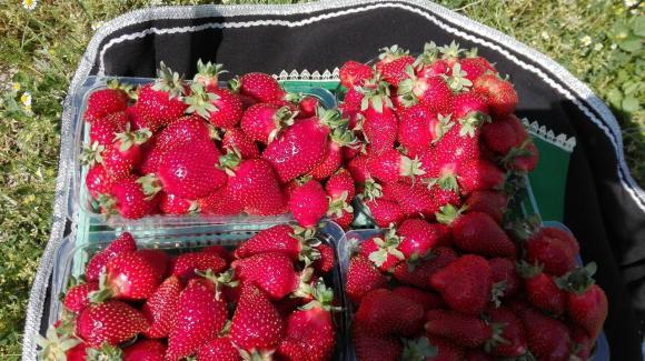 Биологични ягоди на фермерския пазар в София на 2 май до агроминистерството