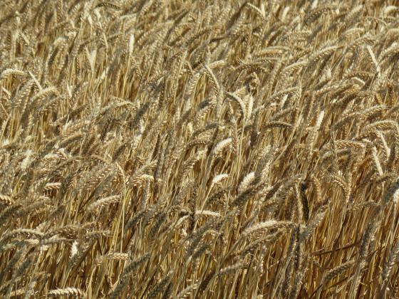 Цените на пшеницата на международния пазар избиха нагоре
