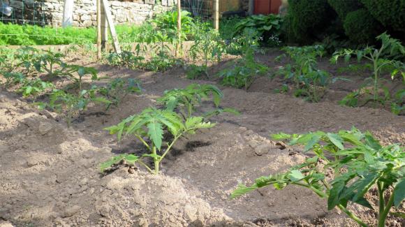 Приключва засаждането на пикираните разсади за ранно производство на домати