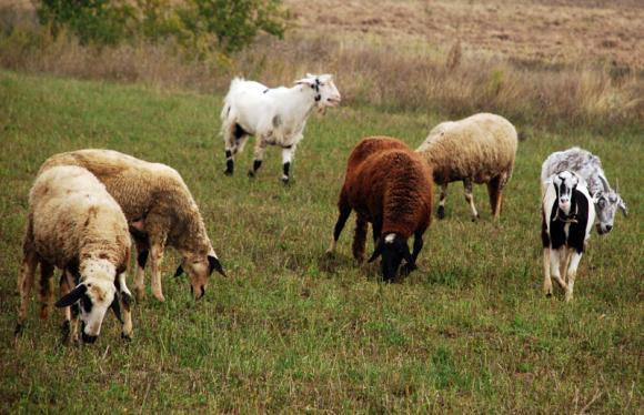 ЕП нястоява за увеличаване на помощите за секторите овцевъдство и козевъдство в новата ОСП