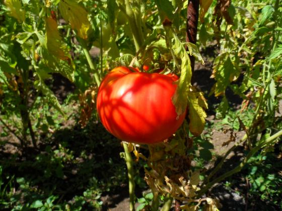 Научете точно какво липсва на доматите за добра реколта