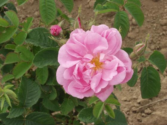 Цената на розите преди беритбата пада до 2,50 лева за килограм