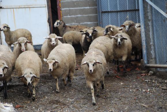 Евродепутатът Момчил Неков с идея за национална стратегия за овцевъдството и козевъдството