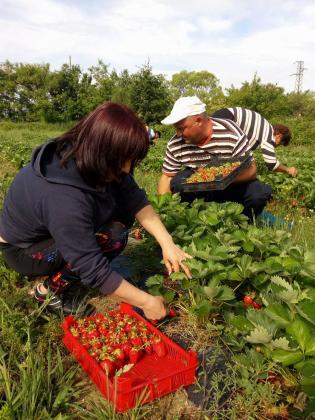 Държавно горско стопанство отгледа първите си ягоди