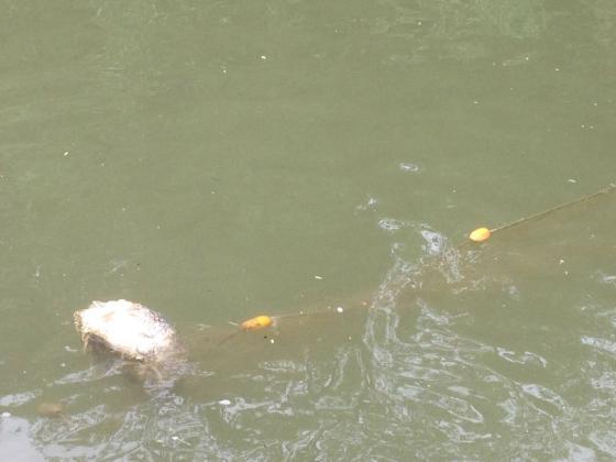 Бракониери не спират да залагат мрежи по Дунава