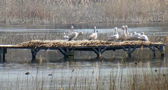 """Къдроглавите пеликани в резерват """"Персински блата"""", очакват своите малки"""