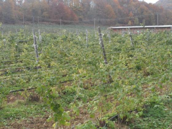 Богата малинова реколта по метода на Соболев