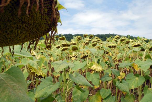 "Стартовите цени на украинското слънчогледово масло ""нова реколта""  падат"
