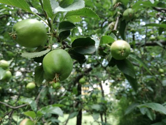Хоризонтално ориентираните клони на ябълката радват с богата реколта