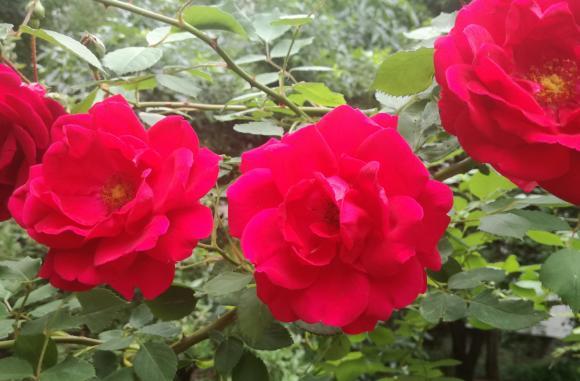 Продукцията от маслодайна роза в страната възлиза на 9 766 тона