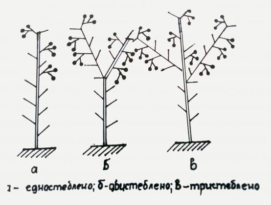 Правилно формиране на растенията при доматите