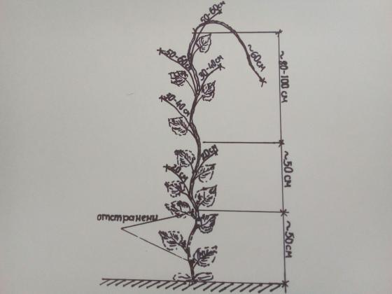 Резитба на краставиците