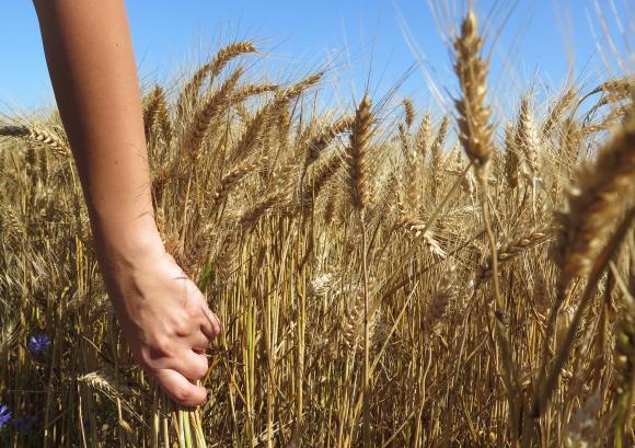 Дни преди жътвата фермерите очакват 20-процентен спад в добивите от есенниците