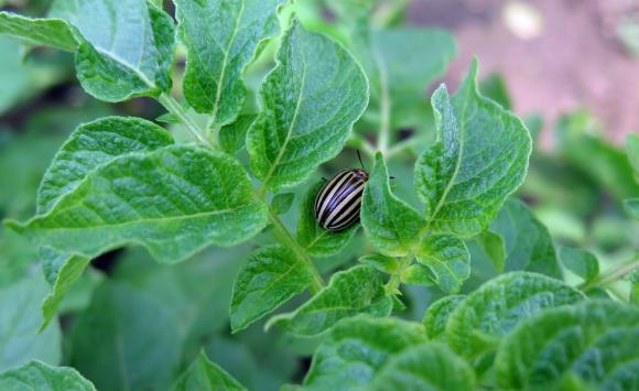Производителите на картофи ще разчитат на нови 631 хил. лева помощ за растителна защита