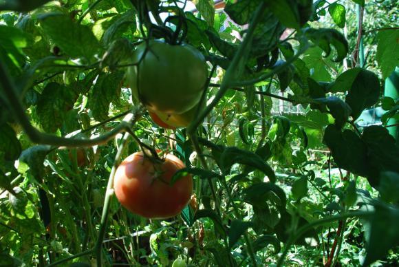 Физиологични промени при доматите