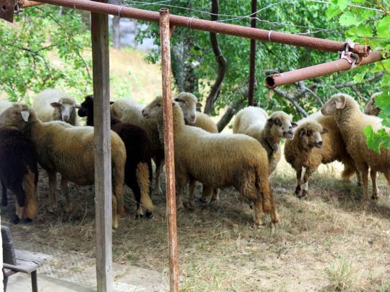 Добрите фермерски практики за хранене и отглеждане на овце и кози