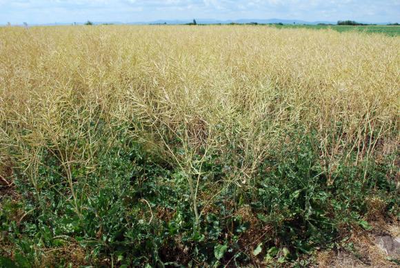 Рапичното семе в Европа поевтинява въпреки очакванията за по-слаба реколта