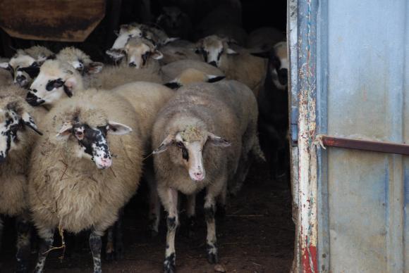 За първи път в България и ЕС чума по овцете и козите