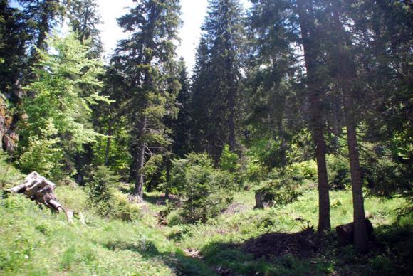 Наблюдава се спад на засегнатите от корояд гори