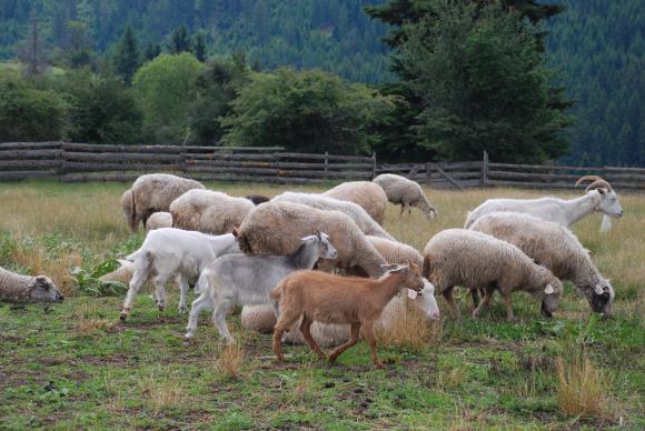 Браншовици и евродепут с идея за стратегия за секторите овцевъдство и козевъдство