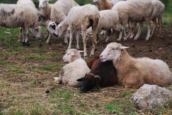 Спешни проверки из Странджа заради чумата по овце и кози
