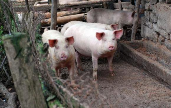 """Кабинетът осигури 4,5 милиона лева за мерки срещу появата на """"африканска чума"""" по свинете"""