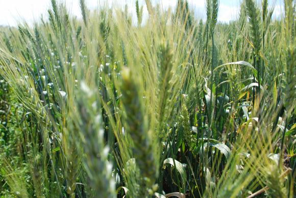 В началото на жътвата средният добив от пшеница е 505 килограма от декар