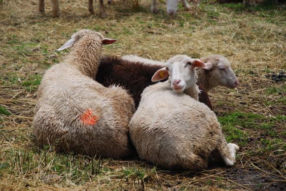 Още на 16 юли ще се платят обезщетенията за животните в Ямболско и Бургаско