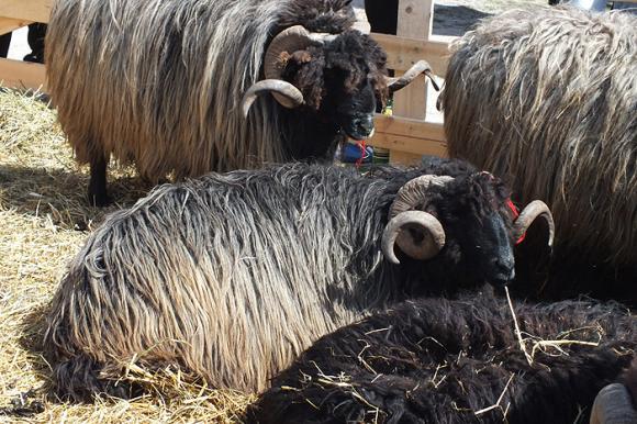 Първи събор на животновъдите до Гигинския манастир