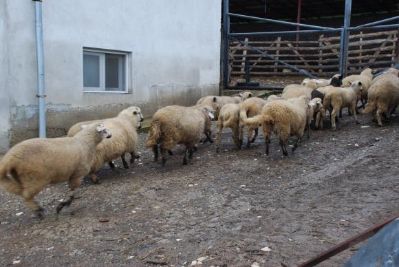 Агроминистърът обещава 190 лева вместо 150 лв. компенсация за овцете, унищожени заради чумата