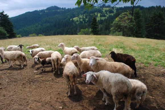 Умъртвяването на болните от чума овце се възстановява още утре