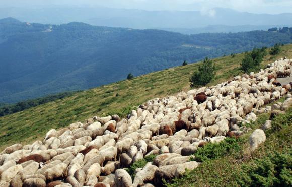 Фермерите от седемте засегнати от чумата общини ще получат общо 55 лв. на овца/коза
